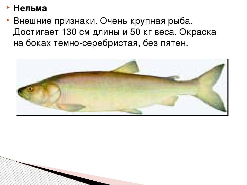 Нельма Внешние признаки. Очень крупная рыба. Достигает 130 см длины и 50 кг в...