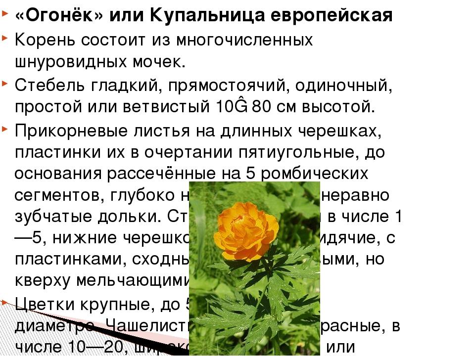 «Огонёк» или Купальница европейская Кореньсостоит из многочисленных шнуровид...