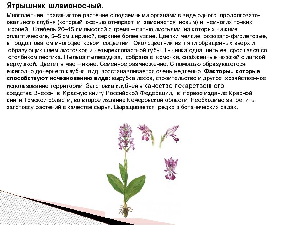 Ятрышник шлемоносный. Многолетнее травянистое растение с подземными органам...