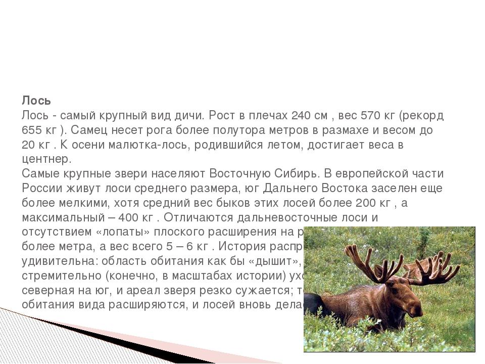 Лось Лось - самый крупный вид дичи. Рост в плечах 240 см , вес 570 кг (рекор...