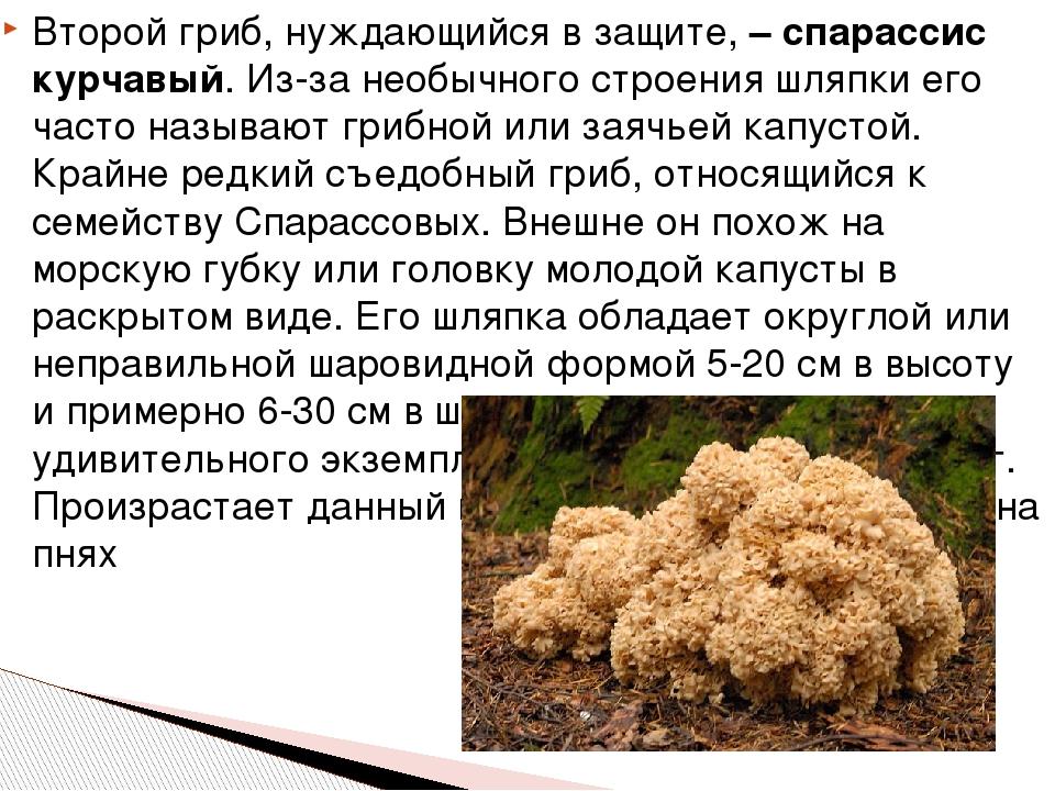 Второй гриб, нуждающийся в защите, – спарассис курчавый. Из-за необычного стр...