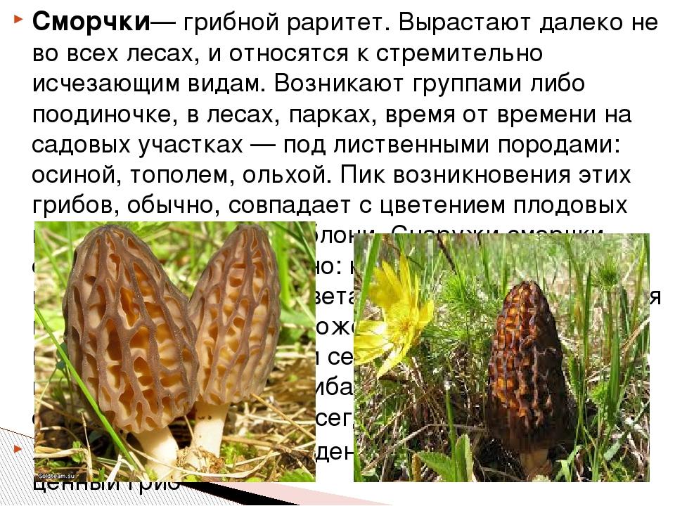 Сморчки— грибной раритет. Вырастают далеко не во всех лесах, и относятся к ст...