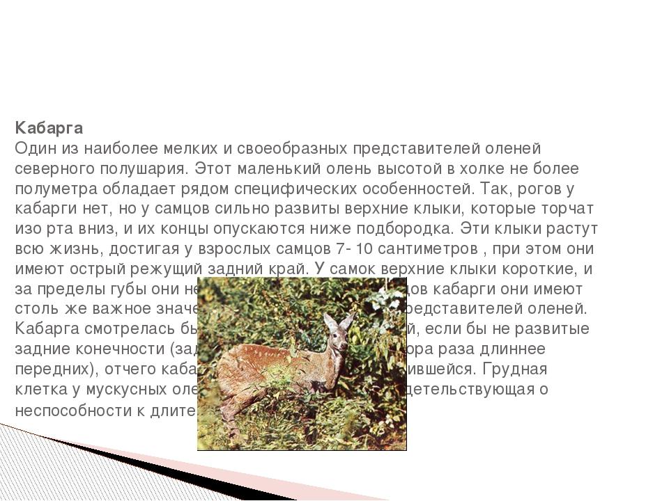 Кабарга Один из наиболее мелких и своеобразных представителей оленей северно...