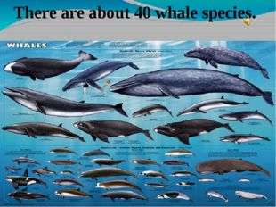 There are about 40 whale species.