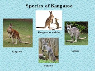 Kangaroo vs wallaby wallaroo kangaroo wallaby Species of Kangaroo