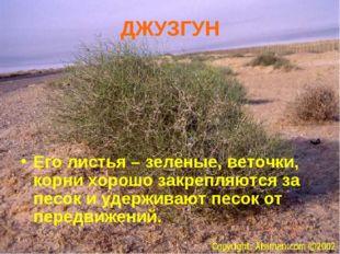 ДЖУЗГУН Его листья – зеленые, веточки, корни хорошо закрепляются за песок и у