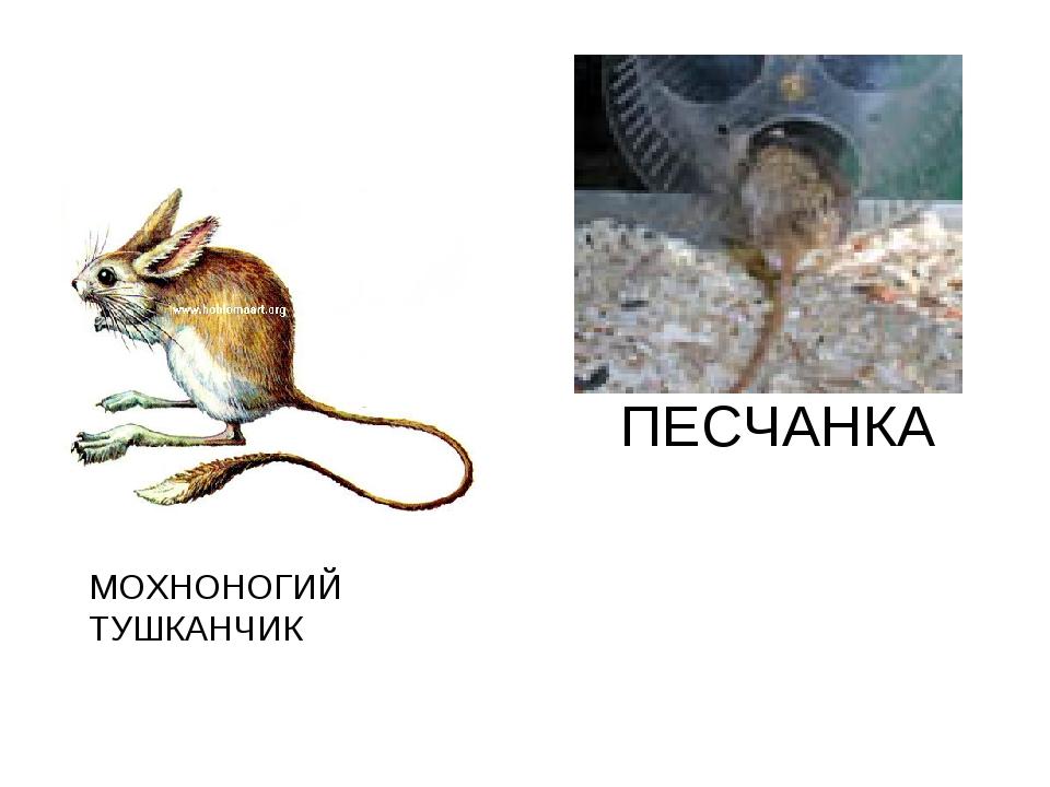 МОХНОНОГИЙ ТУШКАНЧИК ПЕСЧАНКА