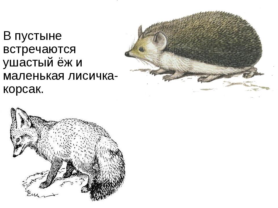 В пустыне встречаются ушастый ёж и маленькая лисичка-корсак.