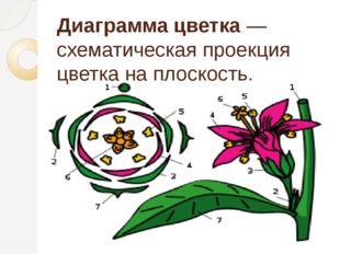 Диаграммацветка— схематическая проекция цветка на плоскость.