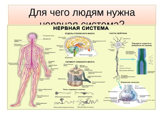 Для чего людям нужна нервная система?
