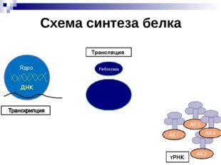 Схема синтеза белка Трансляция тРНК Рибосома