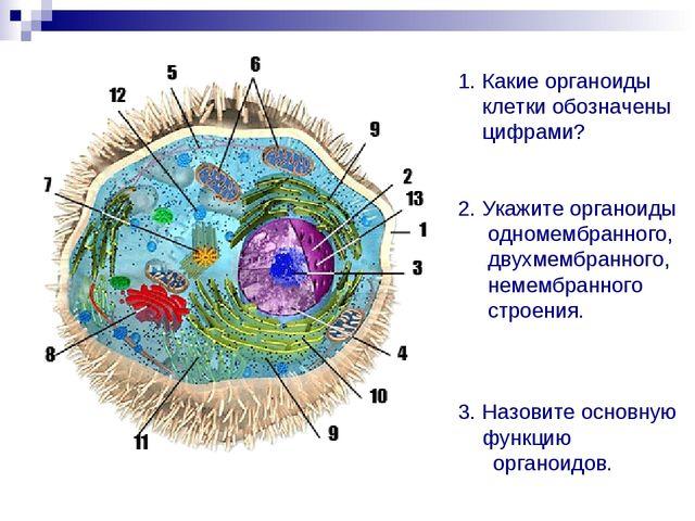 1. Какие органоиды клетки обозначены цифрами? 2. Укажите органоиды одномембра...