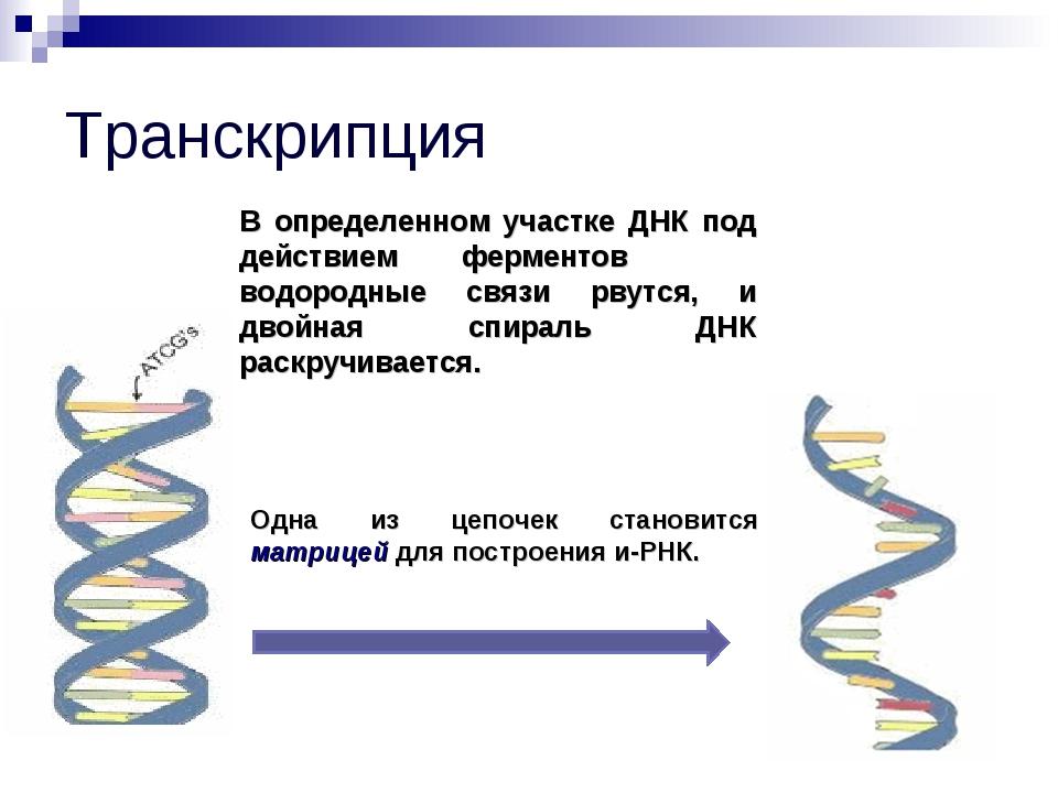 Транскрипция В определенном участке ДНК под действием ферментов водородные св...