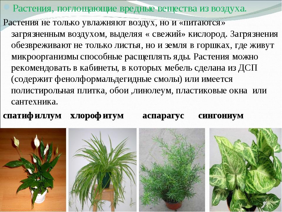 Растения, поглощающие вредные вещества из воздуха. Растения не только увлажня...