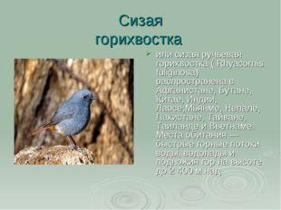Сизая горихвостка или сизая ручьевая горихвостка ( Rhyacornis fuliginosa) рас