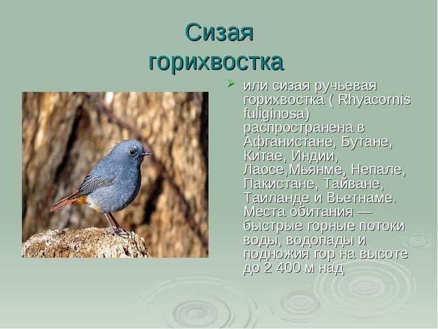 Сизая горихвостка или сизая ручьевая горихвостка ( Rhyacornis fuliginosa) рас...