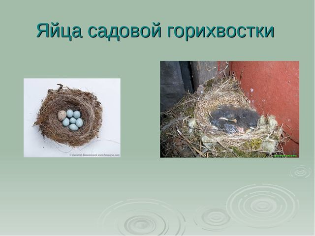 Яйца садовой горихвостки