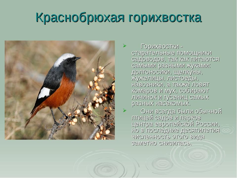 Краснобрюхая горихвостка  Горихвостки - старательные помощники садоводов,...