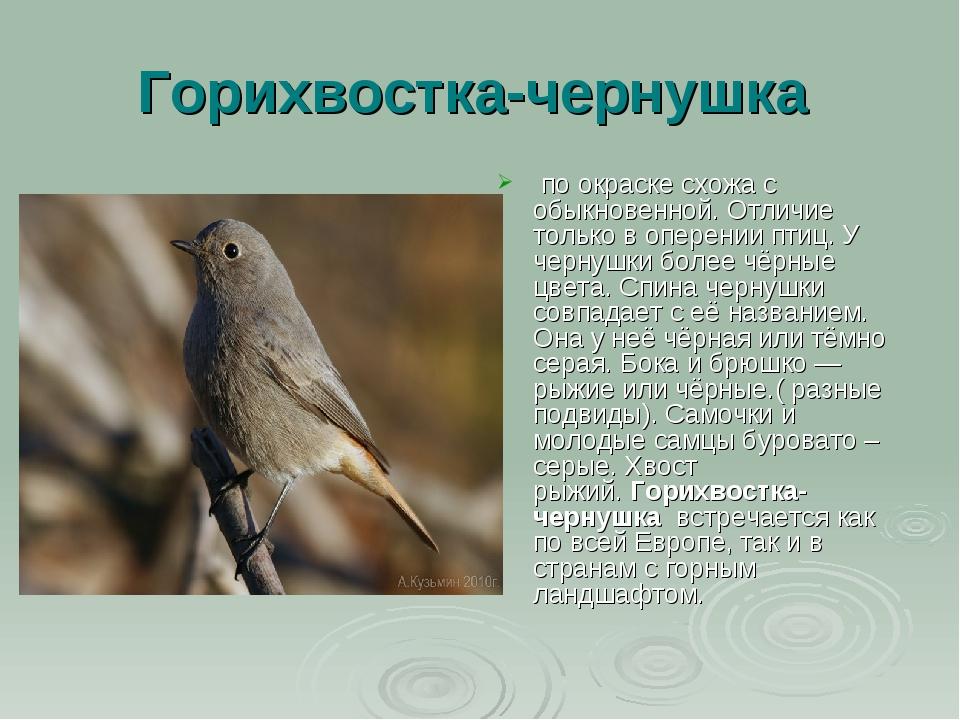 Горихвостка-чернушка по окраске схожа с обыкновенной. Отличие только в оперен...