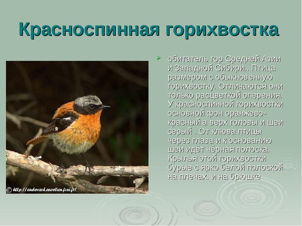 Красноспинная горихвостка обитатель гор Средней Азии и Западной Сибири.. Птиц...
