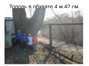 Тополь в обхвате 4 м.42 см.