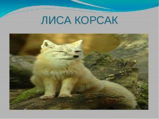 ЛИСА КОРСАК
