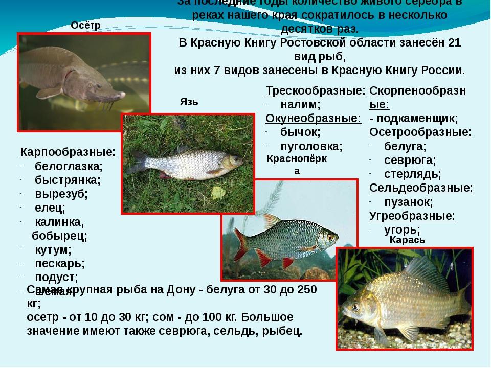 Осётр Язь Краснопёрка Карась За последние годы количество живого серебра в р...