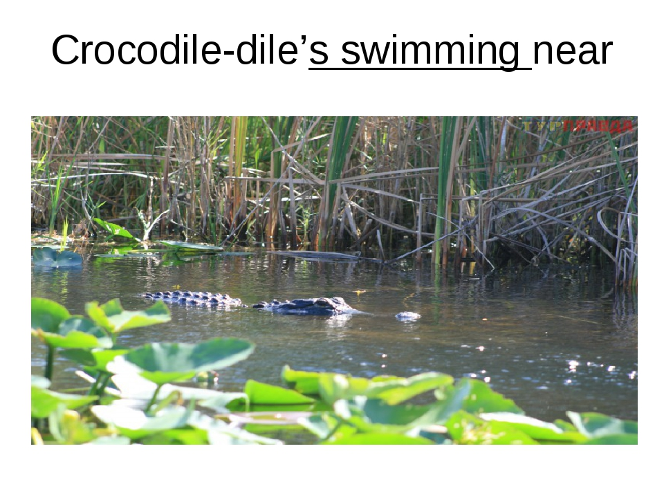 Crocodile-dile's swimming near