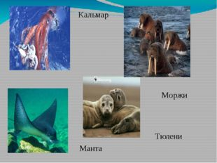 Кальмар Манта Тюлени Моржи