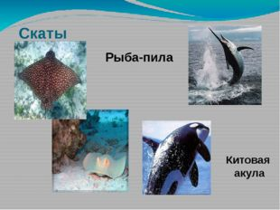 Скаты Китовая акула Рыба-пила