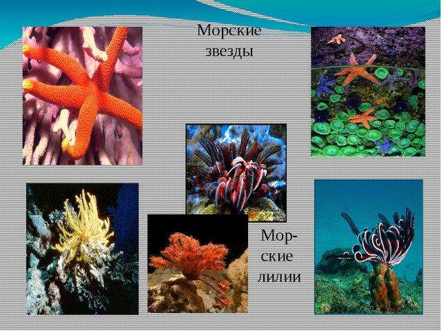 Морские звезды Мор-ские лилии