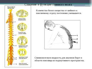 Строение и функции спинного мозга Количество белого вещества от шейного к поя
