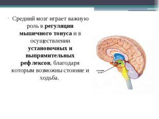 Средний мозг играет важную роль в регуляции мышечного тонуса и в осуществлен