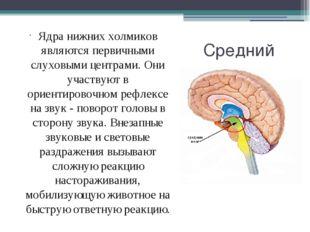 Средний мозг Ядра нижних холмиков являются первичными слуховыми центрами. Они