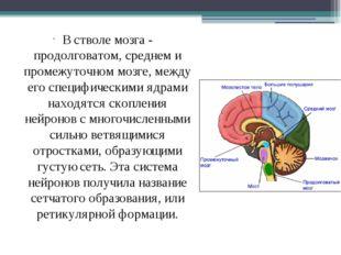 В стволе мозга - продолговатом, среднем и промежуточном мозге, между его спе