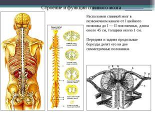 Строение и функции спинного мозга Расположен спинной мозг в позвоночном канал