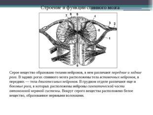 Строение и функции спинного мозга Серое вещество образовано телами нейронов,
