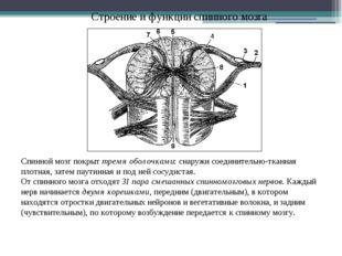 Строение и функции спинного мозга Спинной мозг покрыт тремя оболочками: снару