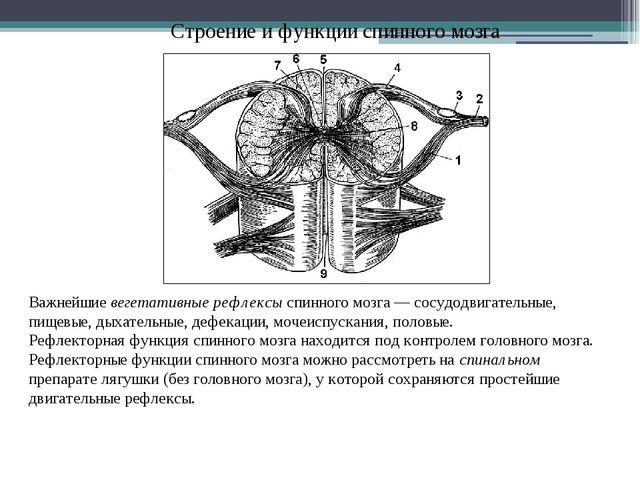 Строение и функции спинного мозга Важнейшие вегетативные рефлексы спинного мо...