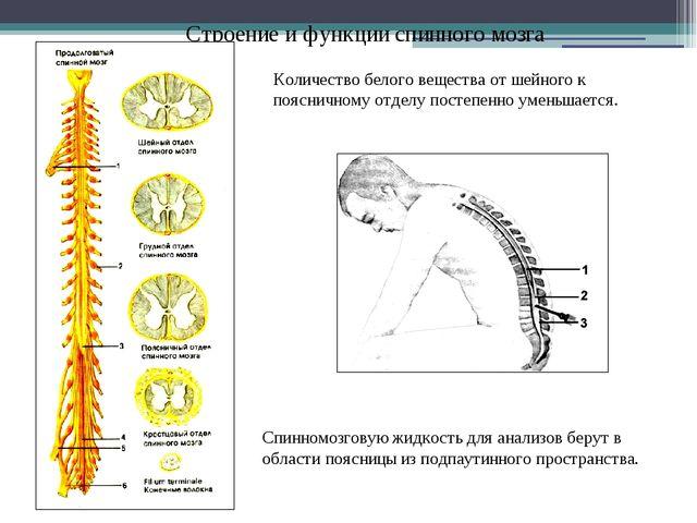 Строение и функции спинного мозга Количество белого вещества от шейного к поя...