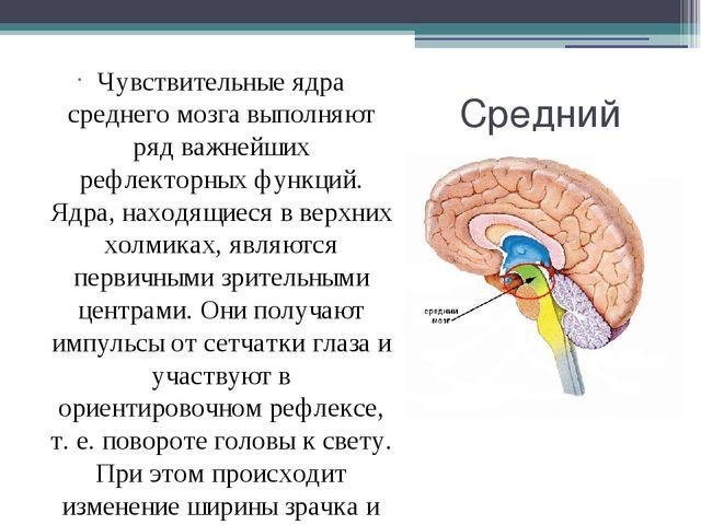 Средний мозг Чувствительные ядра среднего мозга выполняют ряд важнейших рефле...