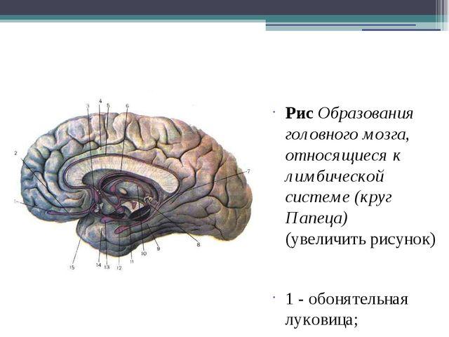 Рис Образования головного мозга, относящиеся к лимбической системе (круг Пап...
