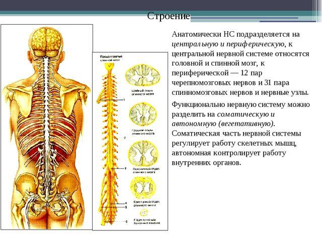 Строение Анатомически НС подразделяется на центральную и периферическую, к це...