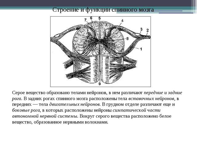 Строение и функции спинного мозга Серое вещество образовано телами нейронов,...