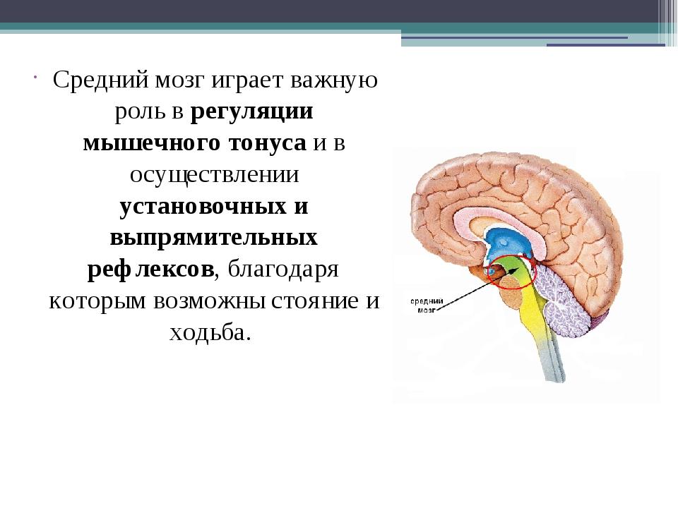 Средний мозг играет важную роль в регуляции мышечного тонуса и в осуществлен...
