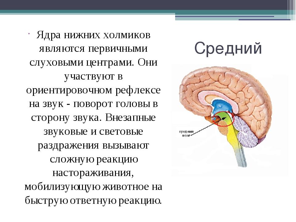 Средний мозг Ядра нижних холмиков являются первичными слуховыми центрами. Они...