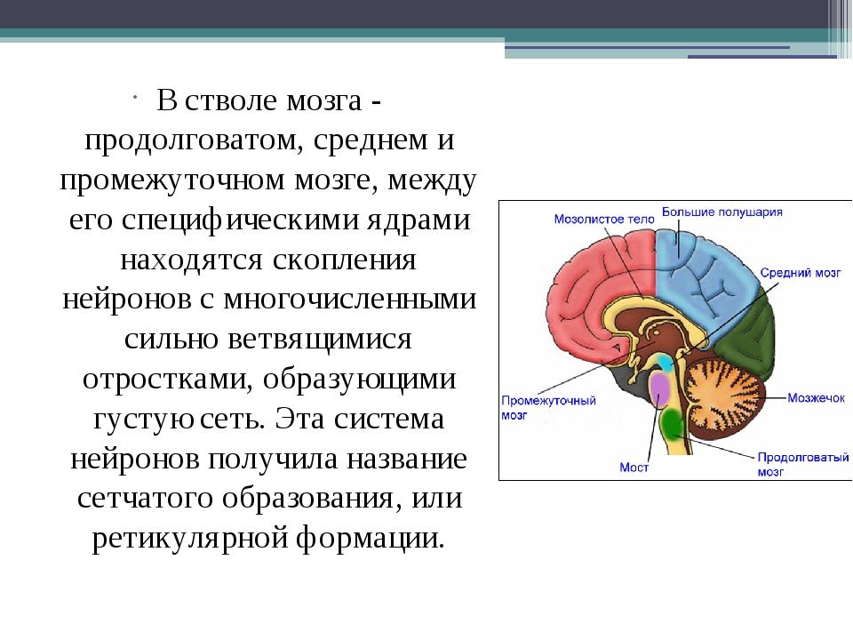 В стволе мозга - продолговатом, среднем и промежуточном мозге, между его спе...