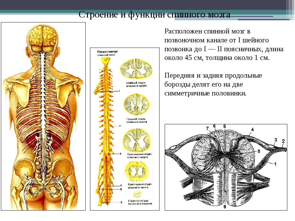 Строение и функции спинного мозга Расположен спинной мозг в позвоночном канал...