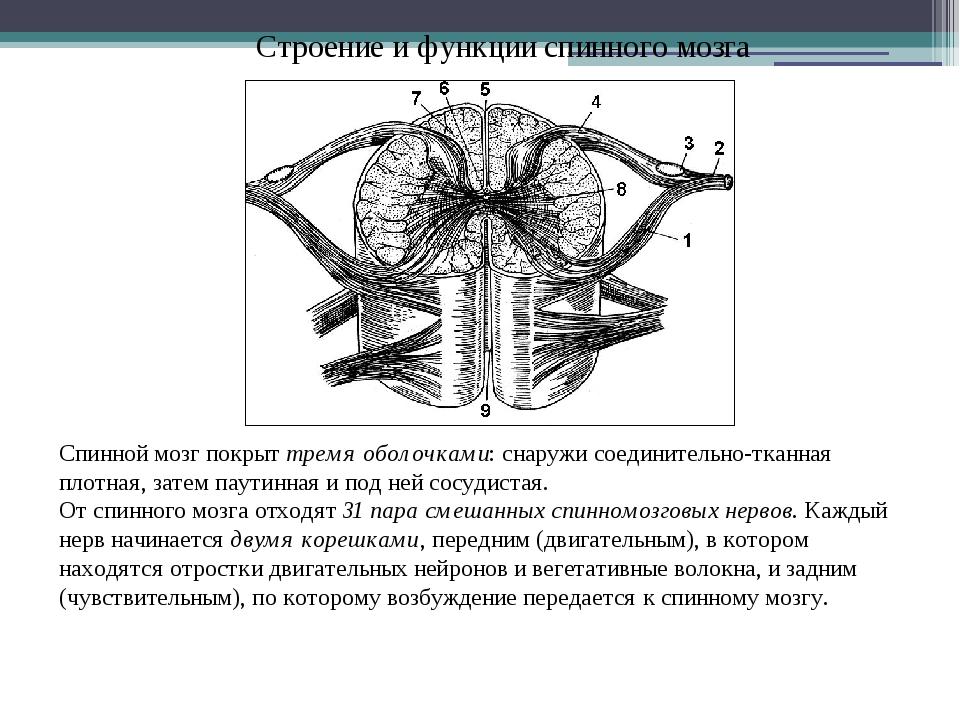 Строение и функции спинного мозга Спинной мозг покрыт тремя оболочками: снару...