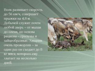 Волк развивает скорость до 56 км/ч, совершает прыжки на 4,8 м. Добычей служит